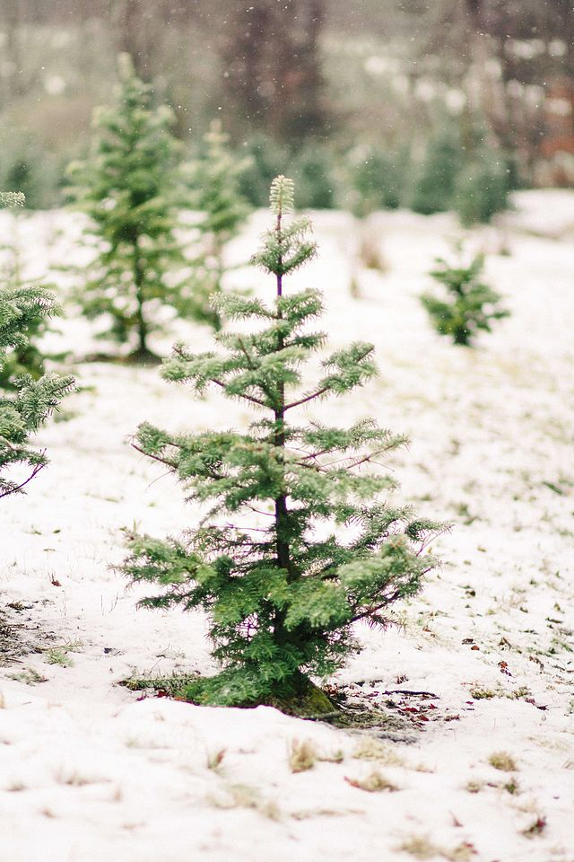 above it takes 12 years to grow a full size christmas tree