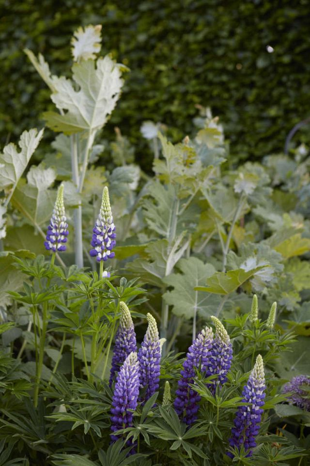 9a3a0f4ff65c Above: Deep purple flowers and sturdy spikes are a mark of Russell hybrids,  the floriferous lupines that English horticulturalist Russell devoted a  lifetime ...
