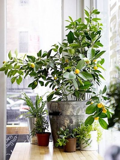 7 Types of Fruit Trees You Can Grow in Your Living Room | Food52 ...
